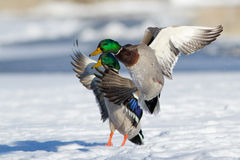 Landing Ducks in winter Royalty Free Stock Photo