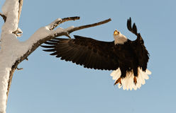 Landing of an eagle. Royalty Free Stock Image