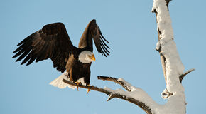 Landing of an eagle. An eagle flying on landing. Snow. Winter. Alaska. A bald eagle (Haliaeetus leucocephalus) Chilkat Bald Eagle Preserve in Southeast Alaska Royalty Free Stock Photography