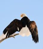 Landing of an eagle. An eagle flying on landing. Snow. Winter. Alaska. A bald eagle (Haliaeetus leucocephalus) Chilkat Bald Eagle Preserve in Southeast Alaska Royalty Free Stock Photos