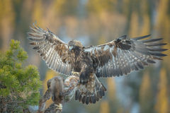 Landing eagle Royalty Free Stock Image