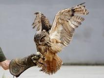 Landing Eagle Owl (Bubo bubo) Stock Photo