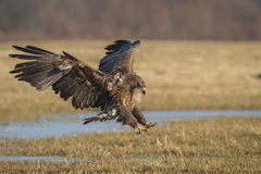 Landing eagle Stock Images