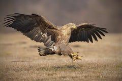 Landing eagle Royalty Free Stock Image