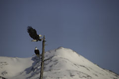 American bald eagle Landing on tree Stock Images
