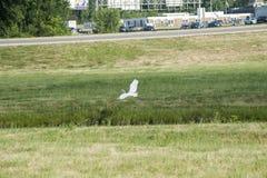 Landing Egret Stock Photos