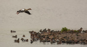 Landing Egyptian Goose Royalty Free Stock Photo