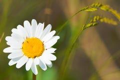 Landing field - White flower Leucanthemum vulgare on the meadow stock image