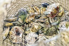 Landing fishing net with harvest of raw closed oysters oyster d Stock Photos