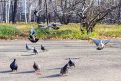 Landing flocks of pigeons. Stock Photography