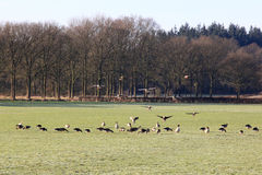 Landing and foraging geese in dutch meadow Royalty Free Stock Photos