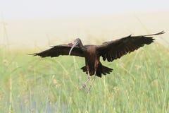 Landing Glossy Ibis among reads at the lake Stock Photos