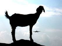 Landing on the Goat. A goat watches a airplane approaching a runway Stock Images