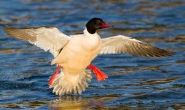 Free Landing Goosander Royalty Free Stock Photo - 24010245