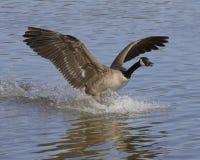 The landing goose Royalty Free Stock Photos