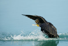 Landing of Great Cormorant Stock Photos