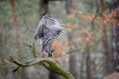 Landing great grey owl Royalty Free Stock Photography