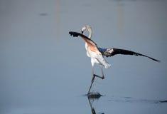 Landing of Greater Flamingo Royalty Free Stock Image