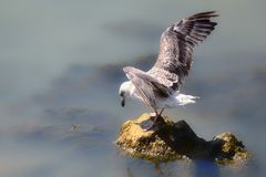 Landing gull Stock Photos