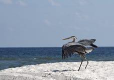 Landing Heron Royalty Free Stock Images