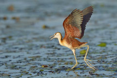 Landing on lillies. African Jacana male landing on vegetation in Chobe National Park, Botswana Royalty Free Stock Image