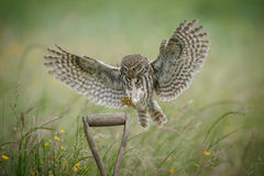 Landing little owl. A little owl in the UK landing upon a spade handle stock photos
