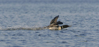 Landing Loon Stock Photo