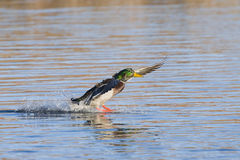 Landing Mallard. Drake Mallard making the perfect water landing Royalty Free Stock Photo
