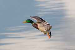 Landing mallard (Anas platyrhynchos). Mallard during flight on a smooth background Stock Image