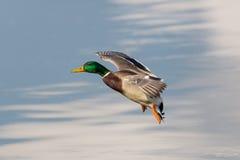 Landing mallard (Anas platyrhynchos) Stock Image