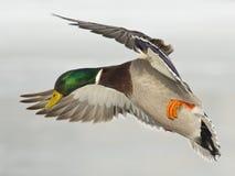 Free Landing Mallard Drake Stock Images - 29906304