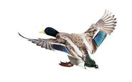 Landing mallard duck drake on white. Flying mallard duck drake isolated on white background Stock Photo