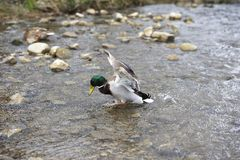 Landing. Mallard Duck Landing in the Water Royalty Free Stock Images