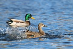 Landing Mallard Ducks. A pair of mallard mallard ducks splashing down as they land on a pond Royalty Free Stock Photos