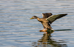 Landing Mallard. Female mallard duck (Anas platyrhynchos) is landing on the water creating a splash and dragging her tail Royalty Free Stock Photos