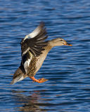 Landing Mallard Hen. Hen Mallard about to land in a pond Royalty Free Stock Photography
