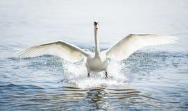 Landing mute swan. Beautiful landing mute swan at a lake near vienna Royalty Free Stock Images