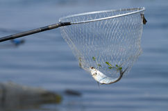 Landing net and sabrefish Royalty Free Stock Images