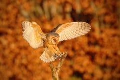 Landing nice Barn Owl in evening nice orange light Royalty Free Stock Image