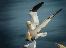 Landing northern gannet royalty free stock images