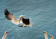 Landing northern gannet stock photo