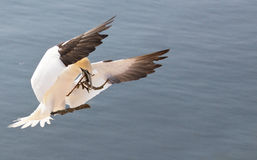 Landing northern gannet. A landing northern gannet with some things for a nest Stock Images