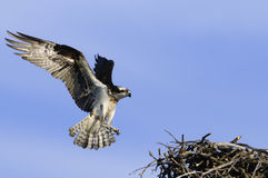 Landing Osprey. Male Osprey landing on nest with wings stretched and claws out Stock Photography
