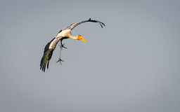 Landing Painted Stork Royalty Free Stock Photo