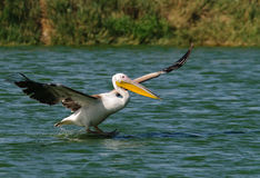 Landing pelican Stock Photo