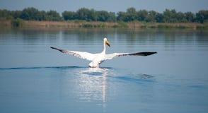 Landing pelican. In danube's delta royalty free stock image