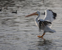 Landing Pelican. Pelican landing in the water Royalty Free Stock Photo
