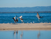 landing pelicans Royalty Free Stock Photo