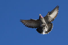Landing pigeon Stock Photo