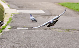 Landing Pigeon in the Park F Stock Photography